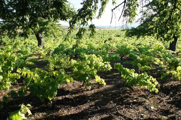 El Consejo de la DO Bierzo solicitará la declaración de zona catastrófica para el viñedo