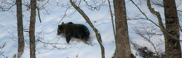 fundacion-oso-pardo-oso-en-la-nieve.jpg