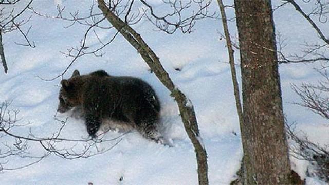 La Escuela de Ingeniería Agraria organiza una charla sobre el oso pardo y su conservación