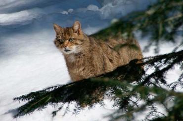 La ULE organiza un curso conservacionista sobre el gato montés en la cordillera cantábrica