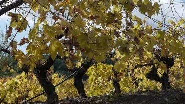 Consejo Comarcal y Consejo Regulador DO Bierzo se unen para impulsar la actividad vitivinícola