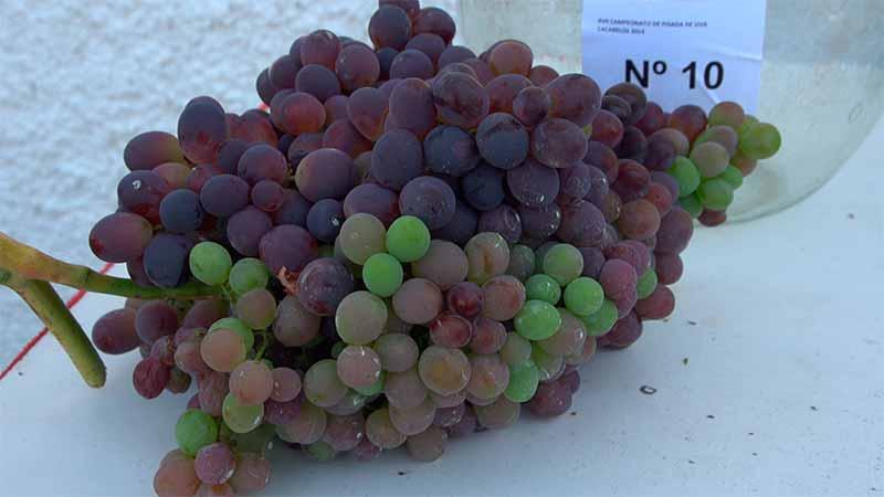 La D.O. cierra la vendimia con 16 millones de kilos de uva recogida