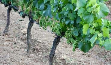 El Consejo Comarcal y la DO Bierzo imparten un curso sobre viticultura