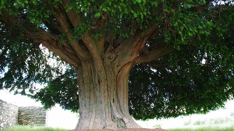 El Ayuntamiento presenta en comisión una ordenanza para la protección de los árboles de interés local