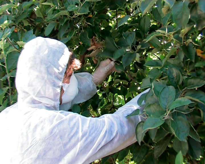 La Estación de Avisos Agrícolas del Bierzo alerta del riesgo de fuego bacteriano en frutales