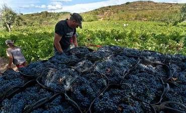 El mildiu afectará en un 20% la cosecha de uva de 2016