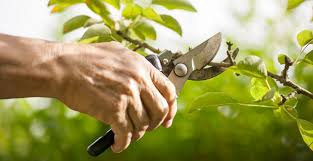 La ULE organiza un curso práctico de poda de frutales en Ponferrada