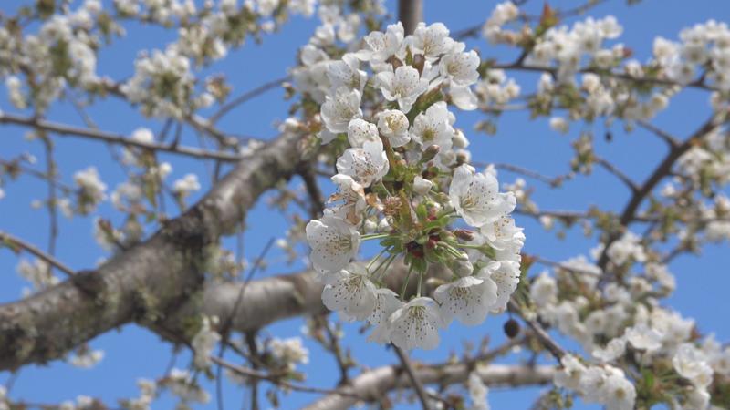 """El proyecto """"2.000 cerezos"""" se plantea en dos fases"""