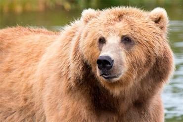 La Escuela de Ingeniería Agraria organiza un programa de actividades sobre el oso pardo y su conservación