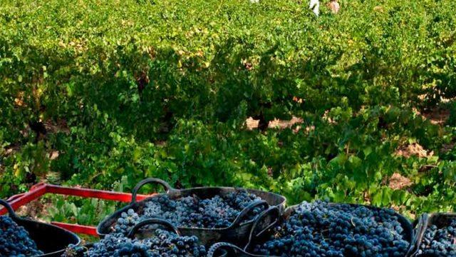 La vendimia se cierra con 9 millones de kilos recogidos de uva de calidad excepcional