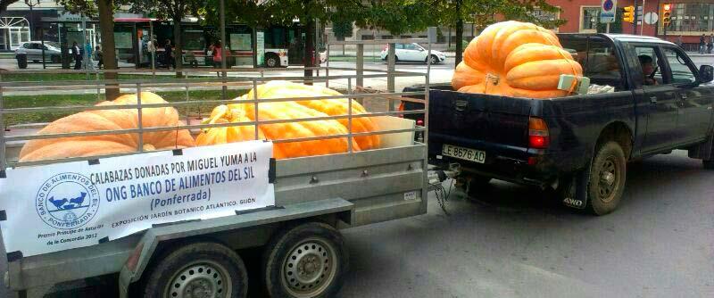 Calabazas gigantes de Miguel Yuma