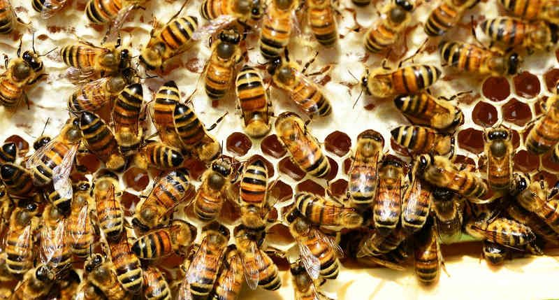 abejas-en-colmena.jpg
