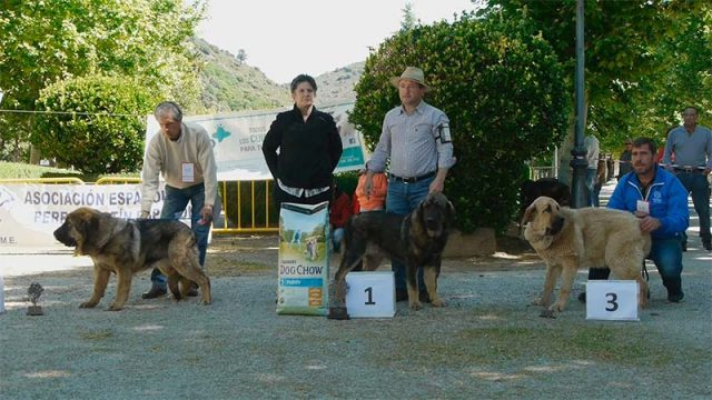 concurso-mastin-espanol-villafranca.jpg