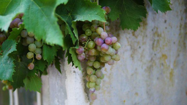 enologia-viticultura.jpg