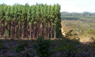eucalipto.jpg
