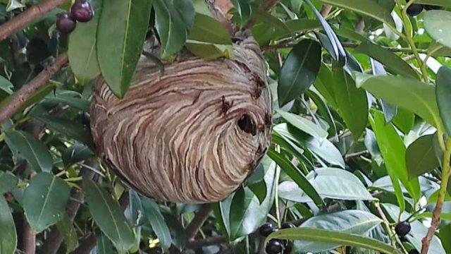 nido-avispilla-asiatica-el-plantio.jpg