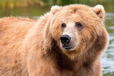 oso-pardo.jpg