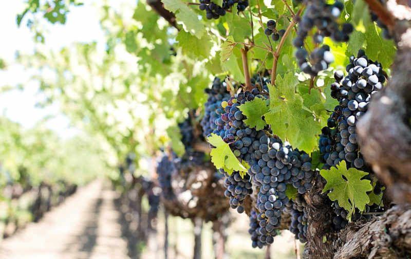 viticultura.jpg